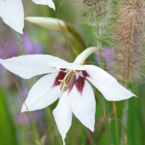 Acidanthera (Gladiolus callianthus)